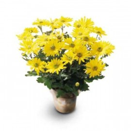 Daisy Chrysanthemum (in season only)