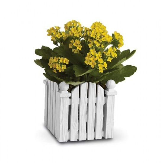 Picket Fence Kalanchoe